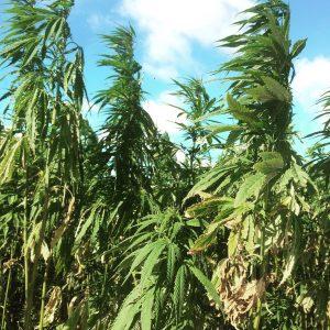 Plantan hampa ute i naturen